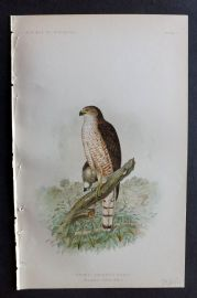 Ridgway 1893 American Bird Print. Sharp Shinned Hawk 04
